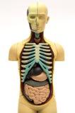 Corpo humano Imagem de Stock Royalty Free