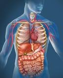 Corpo humano ilustração royalty free