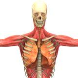 Corpo humano do músculo com pulmões ilustração do vetor