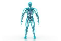 Corpo humano e esqueleto Imagem de Stock Royalty Free