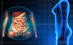 Corpo humano fêmea e sistema digestivo Fotos de Stock Royalty Free