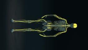 Corpo humano - sistema nervoso fêmea - corpo laço ilustração do vetor