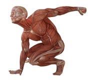 Corpo maschio senza pelle, anatomia ed illustrazione dei muscoli 3d isolata su bianco Immagini Stock Libere da Diritti