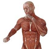 Corpo maschio senza pelle, anatomia ed illustrazione dei muscoli 3d isolata su bianco Fotografia Stock