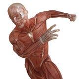 Corpo maschio senza pelle, anatomia ed illustrazione dei muscoli 3d isolata su bianco Fotografia Stock Libera da Diritti