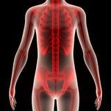 Corpo umano con lo scheletro Immagini Stock