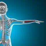 Corpo umano dei raggi x dell'osso di braccio Fotografie Stock Libere da Diritti