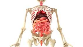 Corpo umano ed organi interni nella rotazione del ciclo royalty illustrazione gratis