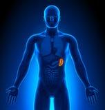 Rappresentazione medica - organi maschii - milza Immagine Stock