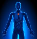 Rappresentazione medica - organi maschii - timo Immagine Stock