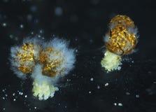 Corps âgés de fruit d'un polycephalum de Physarum de moule de boue mangé par le moule Image stock