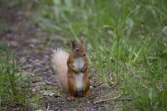 Corps d'écureuil vulgaris et rouge de Sciurus et portraits de visage Images stock