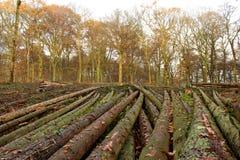 Corps des arbres ensuite réduit Photographie stock
