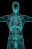 Corps humain avec l'appareil circulatoire Photographie stock