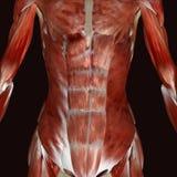 corps humain de femelle de l'illustration 3d Image stock