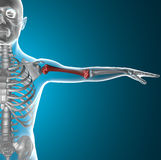 Corps humain de rayon X d'os de bras, humérus Images libres de droits