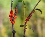 Corps oranges de fruit des decipiens d'un Trichia de muld de boue sur une branche avec des feuilles Images stock