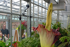 Corpse Flower Bloom. A rare Corpse Flower blooms at the Denver Botanical Gardens in Colorado. Hundreds of onlookers stood in line for more than four hours to see royalty free stock photo