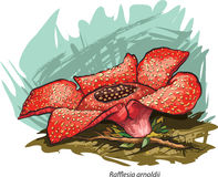 Corpse flower. Vector illustration of Corpse flower (Rafflesia arnoldii Stock Photo