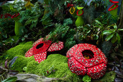 Corpse flower was made of interlocking plastic bricks toy. (Selective focus at the front flower). Scientific name is Rafflesia Arnoldii, Rafflesia kerrii. World royalty free stock photo