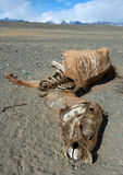 The corpse of a horse. In the steppes of Mongolia Royalty Free Stock Image