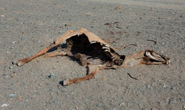 The corpse of a horse. In the steppes of Mongolia Stock Image