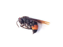 Corpse of wasp. With white background Stock Photos