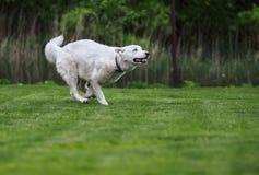 Corra o cão de puxar trenós, corra-o! Fotografia de Stock Royalty Free