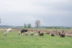 Corral avec des moutons et des vaches image stock