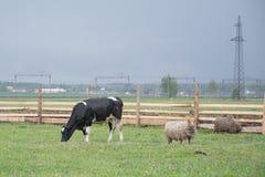 Corral avec une vache photo libre de droits