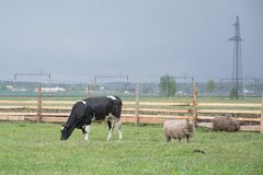 Corral with a cow. On a green meadow royalty free stock photo