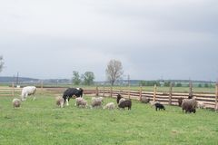 Corral with sheep and cows. In a green meadow stock image