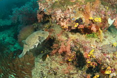 corralfisk som simmar till Arkivfoton