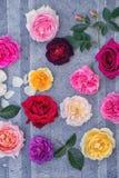 Correção das rosas em um cinza foto de stock royalty free