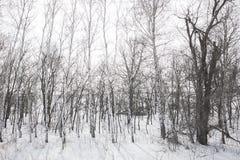 Correa del bosque de abedules en invierno Imagenes de archivo