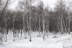 Correa del bosque de abedules en winter_2 Fotos de archivo libres de regalías