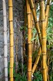 Correcção de programa das plantas de bambu Foto de Stock