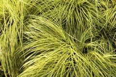 Corrección de la hierba verde amarilla Foto de archivo