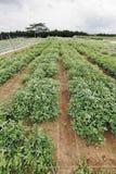Corrección de la plantación del cacahuete. Fotografía de archivo libre de regalías