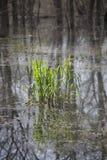 Correction d'herbe de marais Photos stock