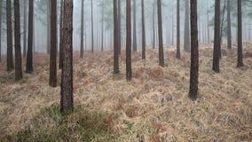 Correction d'herbe parmi des arbres de conifère Image stock