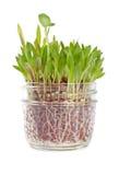 Correction d'herbe s'élevant dans un choc en verre #1 Photo stock