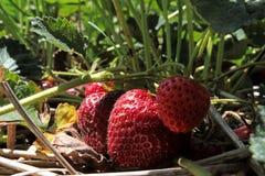 Correction de fraise Image stock