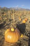 Correction de potiron, Ojai, la Californie Photo stock