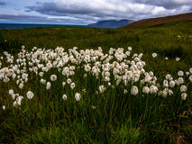 Correction lumineuse de cottongrass en Islande photographie stock libre de droits