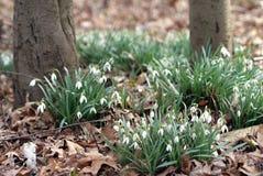 Corrections des perce-neige de blanc dans les bois image libre de droits