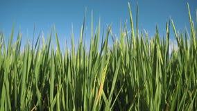 Corrediça da zorra do close up do campo de almofada do arroz video estoque