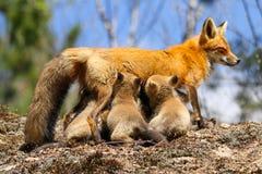 Corredi di cura della madre di Fox rosso Fotografia Stock Libera da Diritti