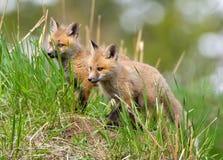 Corredi di Fox rosso. Parco nazionale di Yellowstone fotografia stock libera da diritti