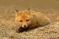 Corredo di Fox rosso Fotografia Stock Libera da Diritti